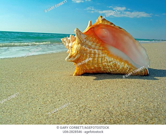 Queen conch shell on beach