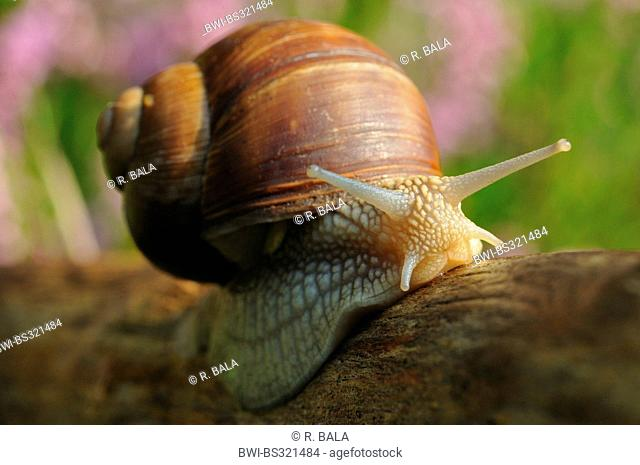 Roman snail, escargot, escargot snail, edible snail, grapevine snail, vineyard snail, vine snail (Helix pomatia), creeping over deadwood, Germany