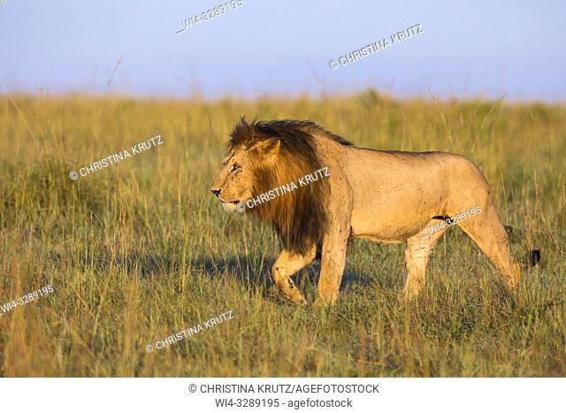 African Lion (Panthera leo), male walking in tall grass, Maasai Mara National Reserve, Kenya, Africa