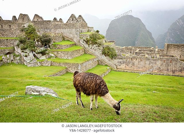 A Llama L  glama grazing in the Plaza Principal main plaza at the Machu Picchu complex  Machu Picchu, Peru