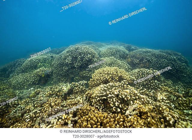 Stone Corals in Sea of Cortez, Pocillopora elegans, La Paz, Baja California Sur, Mexico