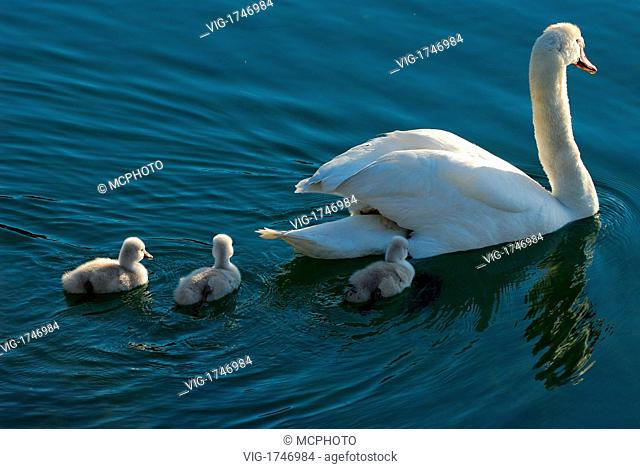 mother mute swan carrying two chicks with three cygnets following - 22/05/2006