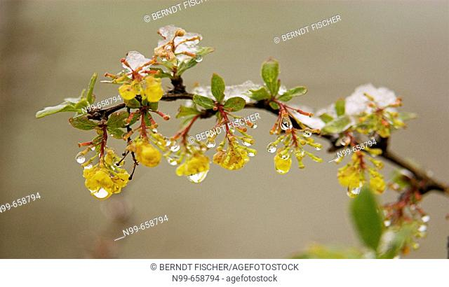 Barberry (Berberis vulgaris), flowering in spring, snowcovered, backwinter in the mountains, National Park des Ecrins, French Alps, Haute Dauphiné, France