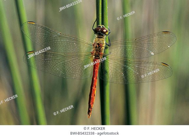 Eastern European sympetrum (Sympetrum depressiusculum), male at a stem, view from above, Germany