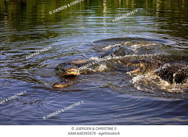 American Alligator (Alligator mississipiensis) adult mating in water fighting, Florida, USA