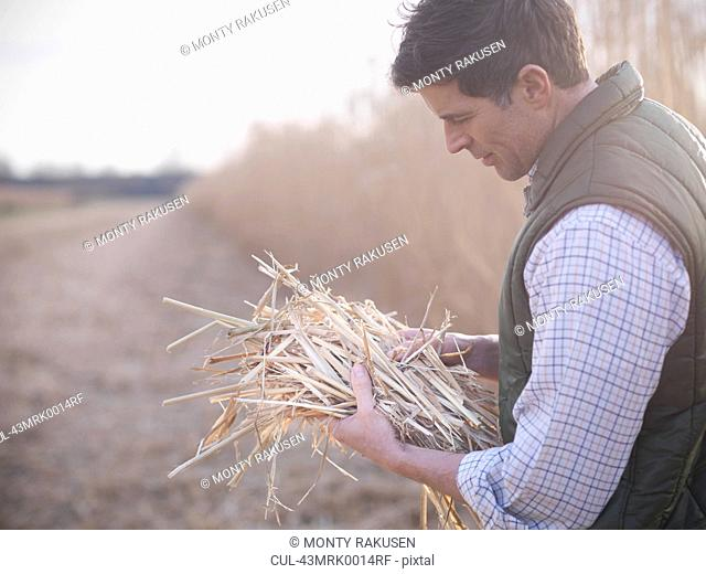 Farmer holding bunch of elephant grass