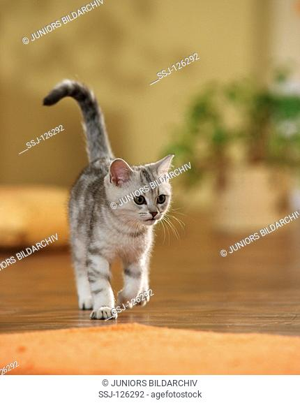 British Shorthair kitten - walking restrictions:Tierratgeber-Bücher / animal guidebooks