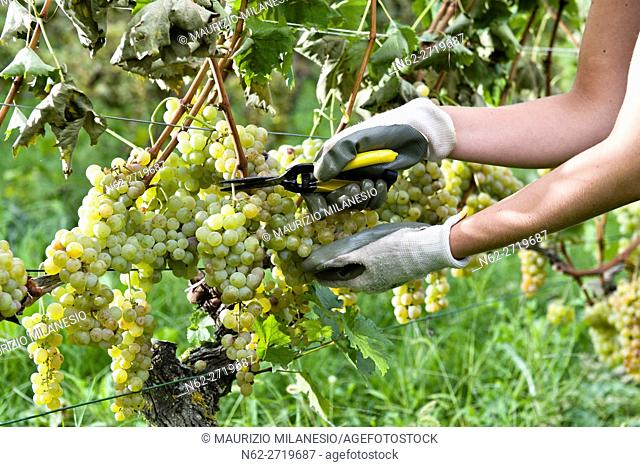 Cutting during the harvest of white grapes for wine Passito piedmont Italy