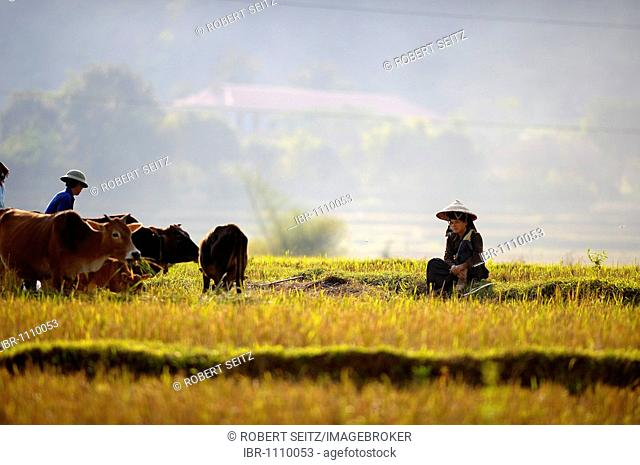 Vietnamese woman in rice paddy with cattle in evening light, DinhBin, Hanoi, North Vietnam, Southeast Asia