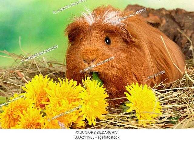 Guinea Pig, Cavie eating Dandelion. Germany