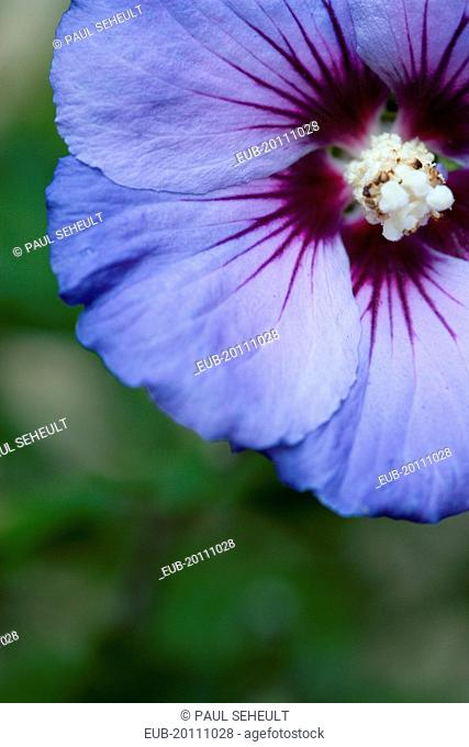 Rose mallow Hibiscus syriacus Blue Bird single purple blue flower growing on a shrub against a green background