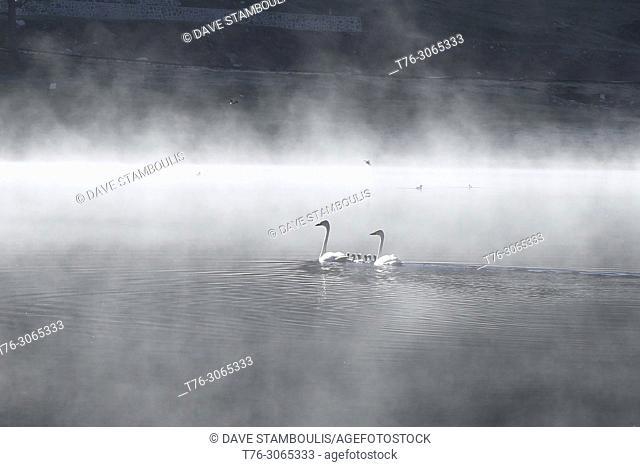 Swans and their brood, Yaze Lake, Kanas Lake National Park, Xinjiang, China