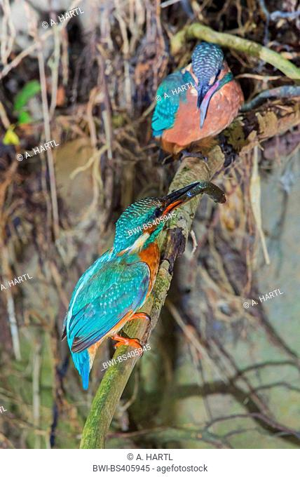 river kingfisher (Alcedo atthis), female luring a fledgling, whitch just has left the breeding cave, with a fish, Germany, Bavaria