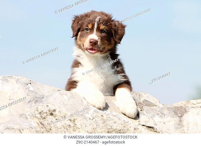 Dog Australian shepherd / Aussie puppy lying on a rock