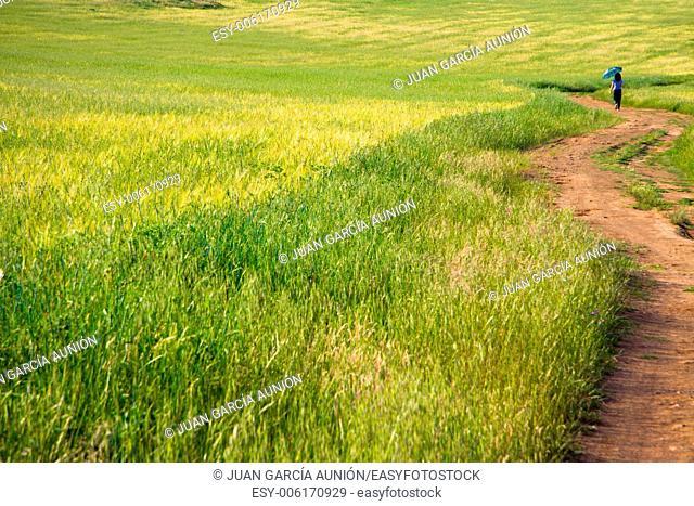 Walking through holms oaks and green wheat fields.Dehesa landscape, Spain