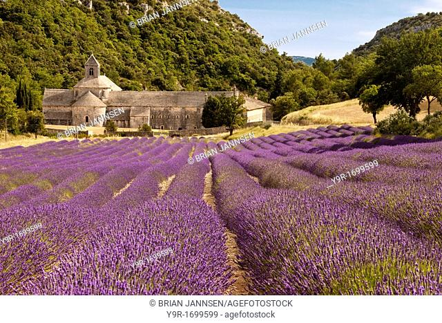 Rows of lavender leading to the historic Abbaye de Senanque near Gordes, Provence France