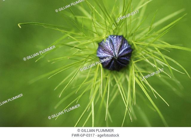 Nigella damascena, Love-in-a-mist