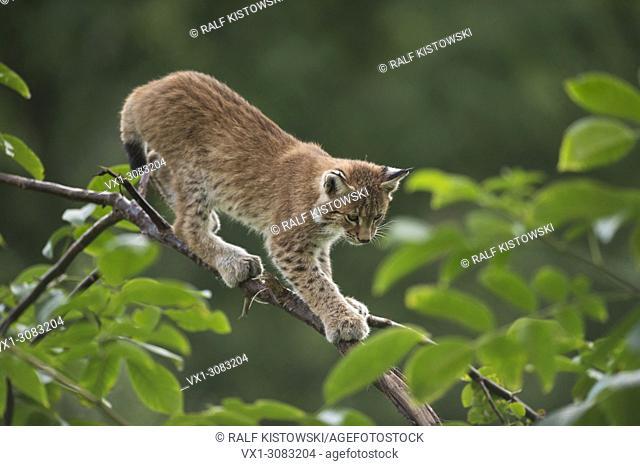 Eurasian Lynx ( Lynx lynx ), cute cub with huge paws, balances on a branch of a bush, training its skills, Europe