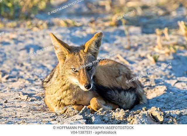 A black-backed jackal (Canis mesomelas) resting in Botswana, Africa