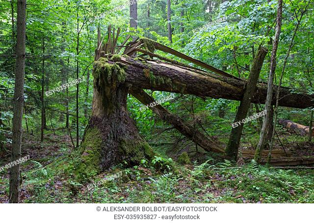 Big old spruce tree broken and another one tree moss wrapped hanging over stump,Bialowieza Forest,Poland,Europe
