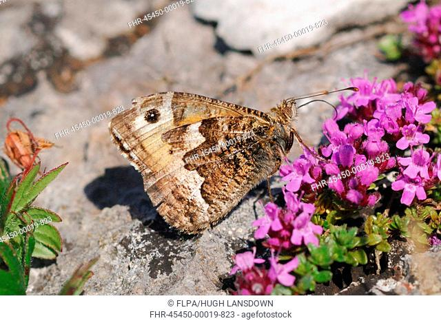 Grayling Hipparchia semele adult, feeding on Wild Thyme Thymus praecox flowers on coastal cliff, Gower Peninsula, Glamorgan, South Wales, june