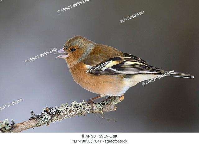 Common chaffinch (Fringilla coelebs) male perched on branch in winter
