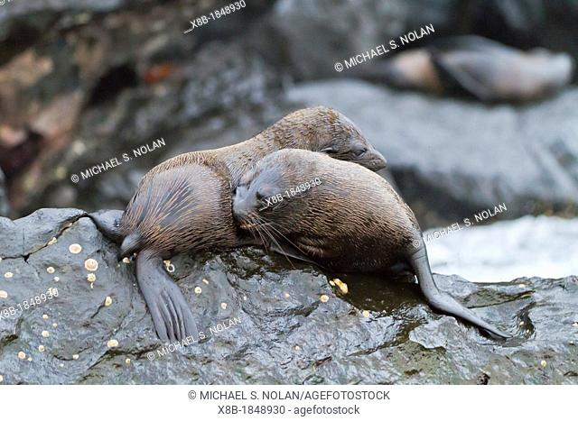 Galapagos fur seals Arctocephalus galapagoensis mock-fighting on lava flow on Isabela Island in the Galapagos Island Archipelago, Ecuador