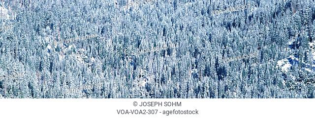 These are rows of trees covered in snow in the winter