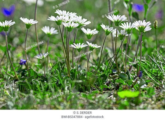 Aster bellidiastrum (Aster bellidiastrum, Bellidiastrum michelii), several flowering Aster bellidiastrum, Austria, Kaernten, Dobratsch