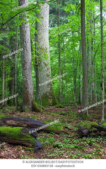 Lying broken branch in foreground and old spruce and oak trees in background in summer forest, Bialowieza Forest, Poland, Europe