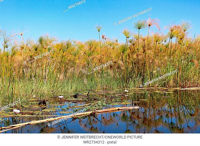 Botswana, Okavango Delta, mirroring of water plants in the lake while driving with a Mokoro, a Mokoro is a four-meter-long dug-boat