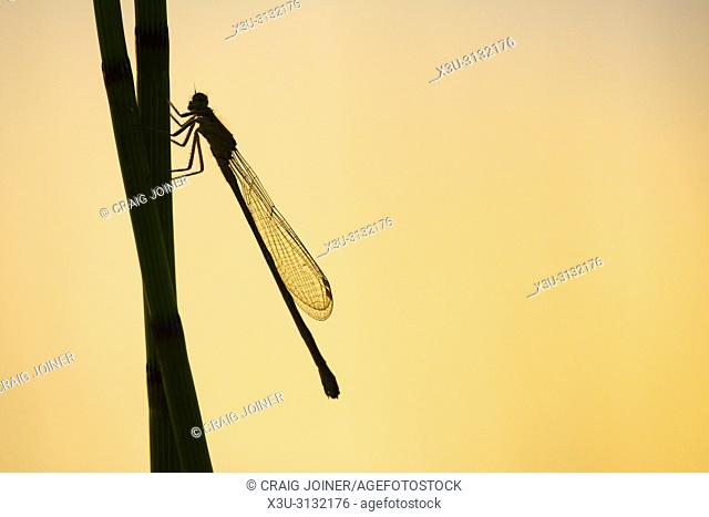 A Common Blue Damselfly (Enallagma cyathigerum) on a reed in silhouette in the Mendip Hills, Somerset, England