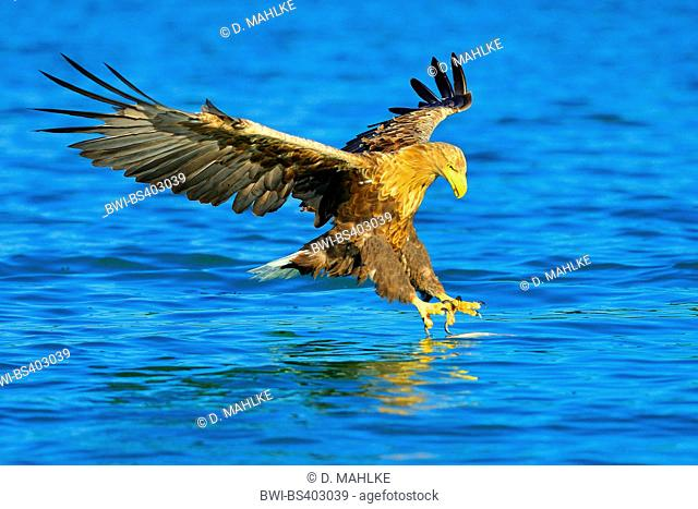 white-tailed sea eagle (Haliaeetus albicilla), hunting flight shortly over water surface, Germany, Brandenburg, Biosphaerenreservat Schorfheide Chorin
