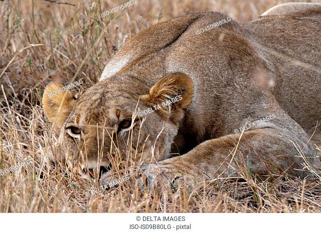 Portrait of Lioness (Panthera leo),close-up, Maasai Mara National Reserve, Rift Valley, Kenya, Africa