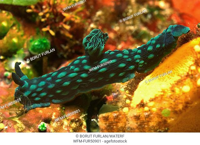 Nembrotha Nudibranch, Nembrotha cristata, Alor, Lesser Sunda Islands, Indo-Pacific, Indonesia