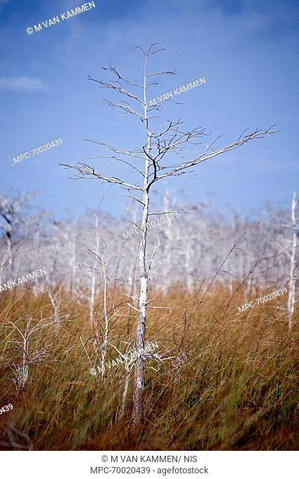 Leafless dwarf cypress tree in swamp, Everglades National Park, Florida
