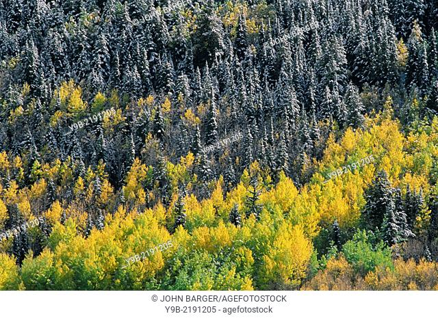 Snowfall adds accent to forest of spruce and autumn aspen, Uncompahgre National Forest, Colorado, USA