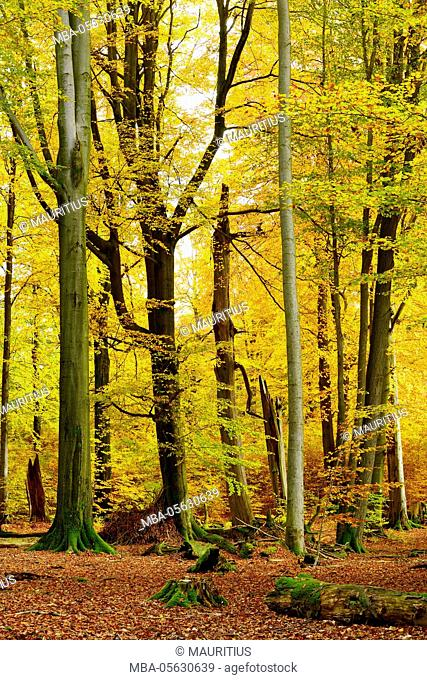 Close to nature mixed broadleaf forest with old oaks and beeches in autumn, nature reserve Spessart, Weibersbrunn, Bavaria, Germany, Europe
