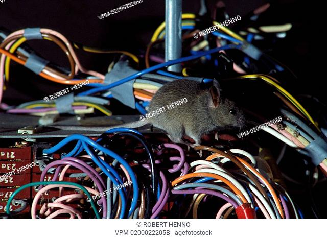 MUS MUSCULUSHOUSE MOUSEAMONGST CABLES