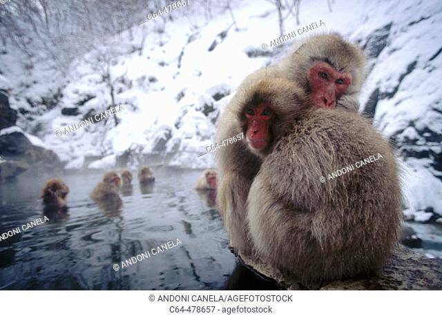 Japanese macaque (Macaca fuscata). Jigokudani. Joshinetsu National Park. Japan