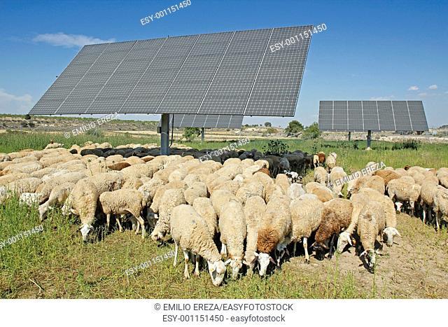 Flock and solar panels, Arbeca, Lleida, Catalonia, Spain