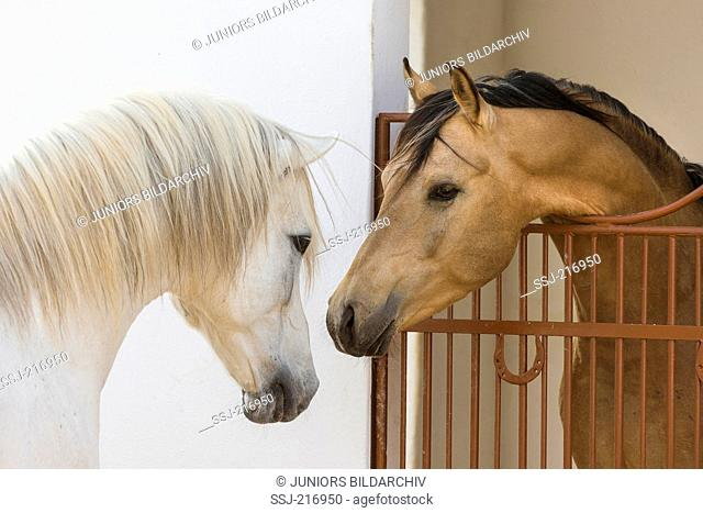 Arabian and Barb Horse. Two stallions with their heads together. Tunisia