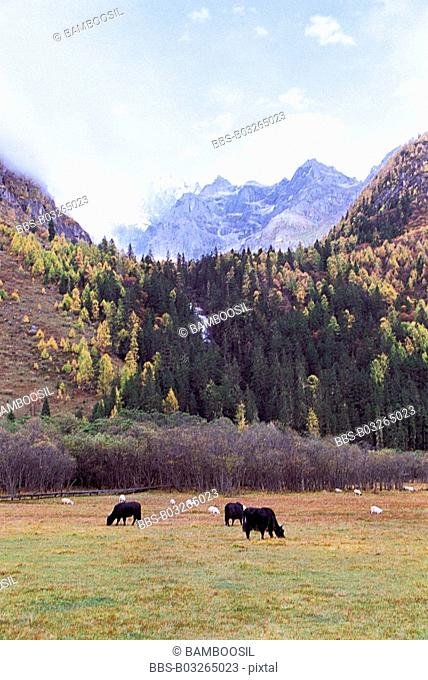 Animals grazing in pasture, Siguniang Mountain , Xiaojin County, Aba State, Sichuan Province of People's Republic of China