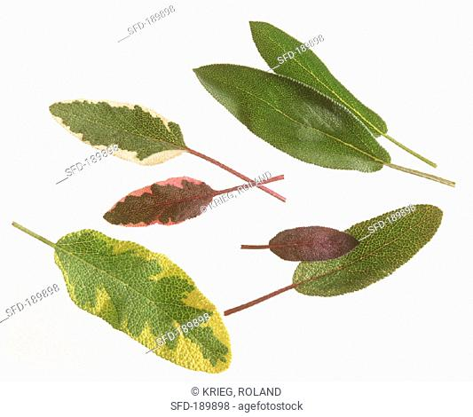 Various sage leaves on white background