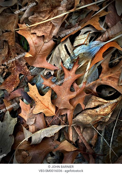 Transparent Hosta Royal Standard leaves among other dead autumn leaves, including white oak, red oak, elm, and maple