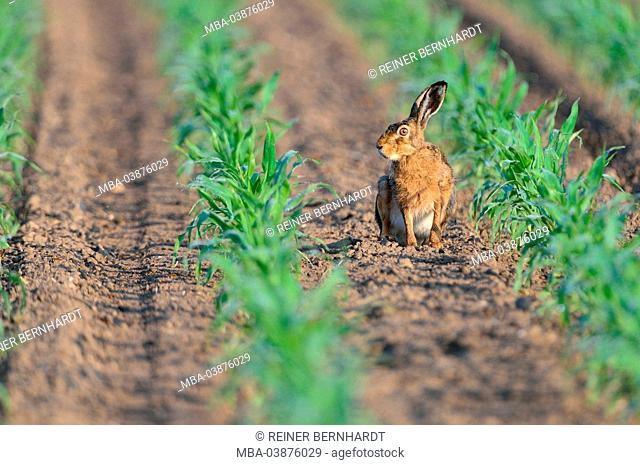 brown hare in May in corn field
