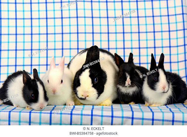 Netherland Dwarf (Oryctolagus cuniculus f. domestica), four bunnies with their mother