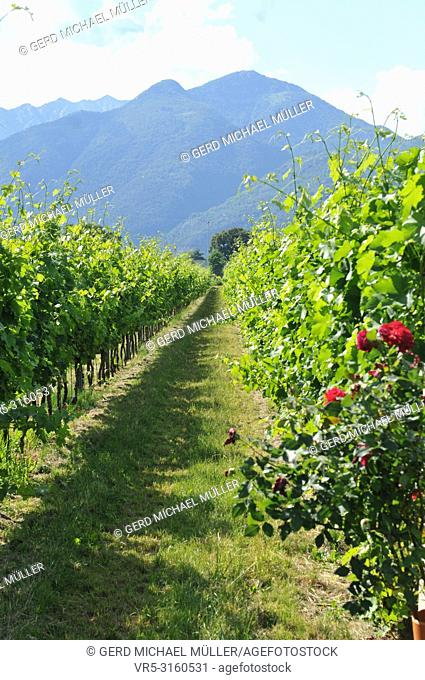 South Switzerland: Wineyards in the Maggia River Delta near Ascona and Locarno City