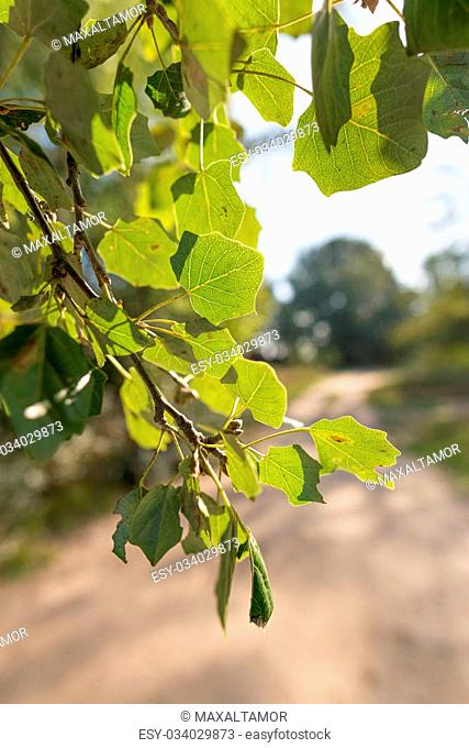 Backlit Popuplus Alba green transparent leaves, also called Poplar. The veins appear under the strong sunlight