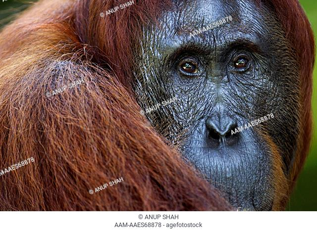 Bornean Orangutan female 'Tutut' head portrait (Pongo pygmaeus wurmbii). Camp Leakey, Tanjung Puting National Park, Central Kalimantan, Borneo, Indonesia